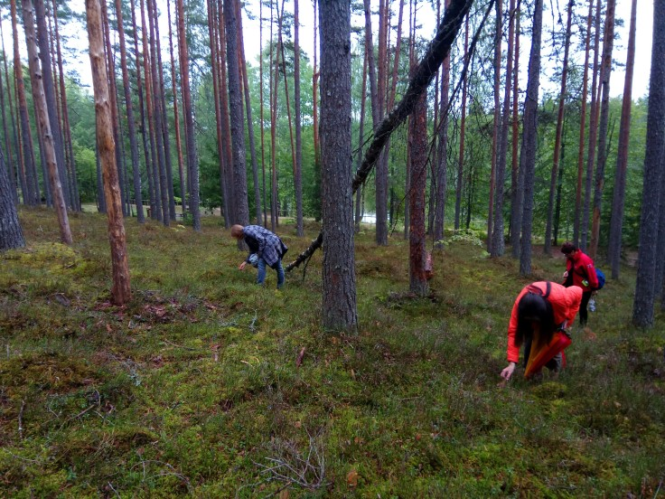 Blueberry picking in Gaujas National Park Latvia